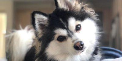Der Pomsky Husky: Eine kleine Hunderasse für die ganze Familie
